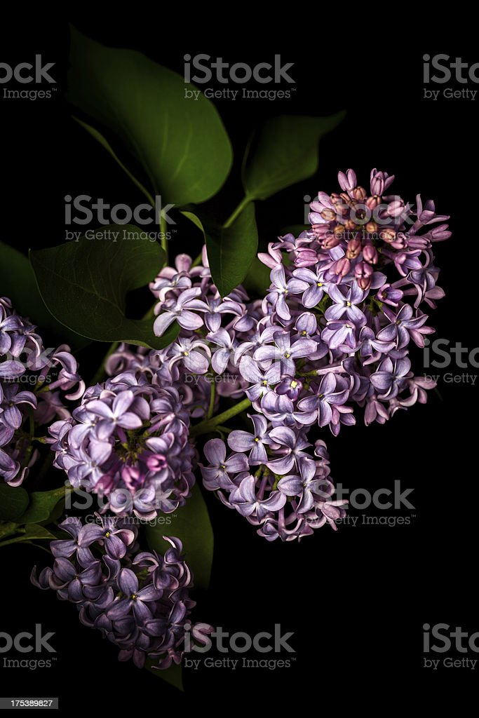 Lilac isolated on black background royalty-free stock photo