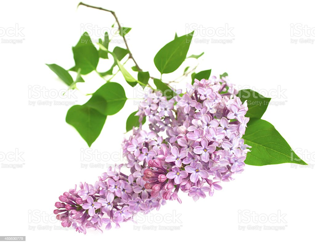 lilac isolated on white background royalty-free stock photo