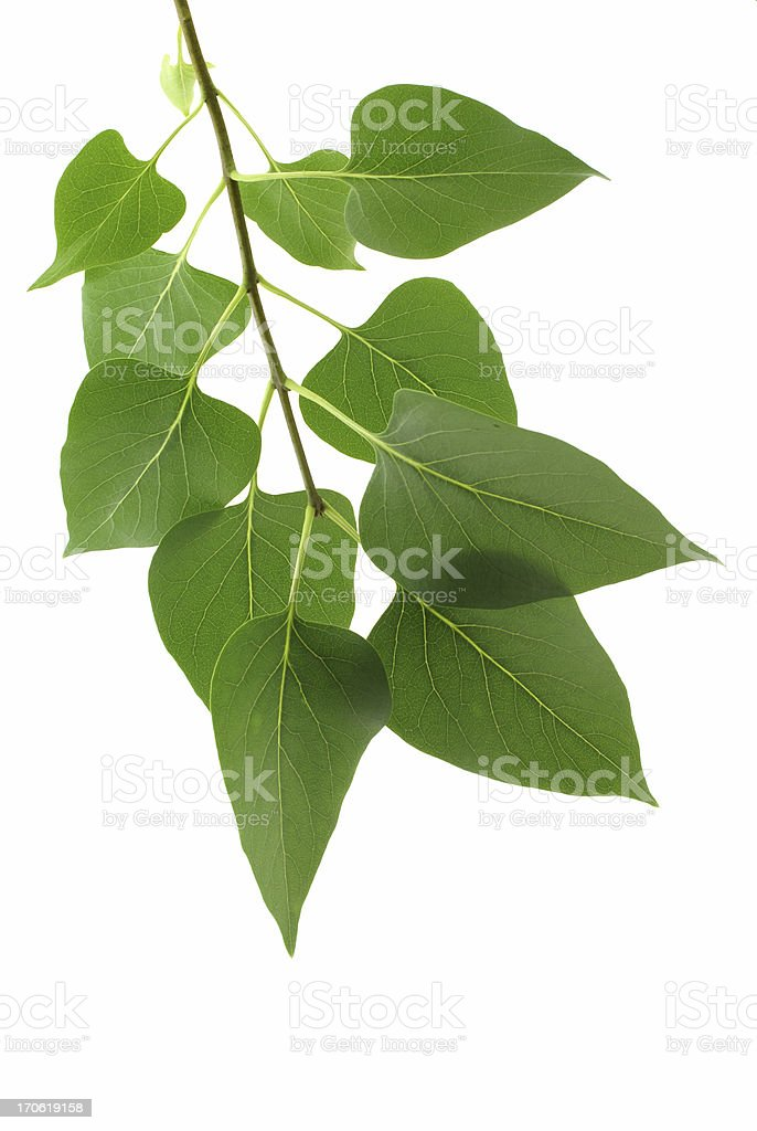 lilac leaves on branch royalty-free stock photo