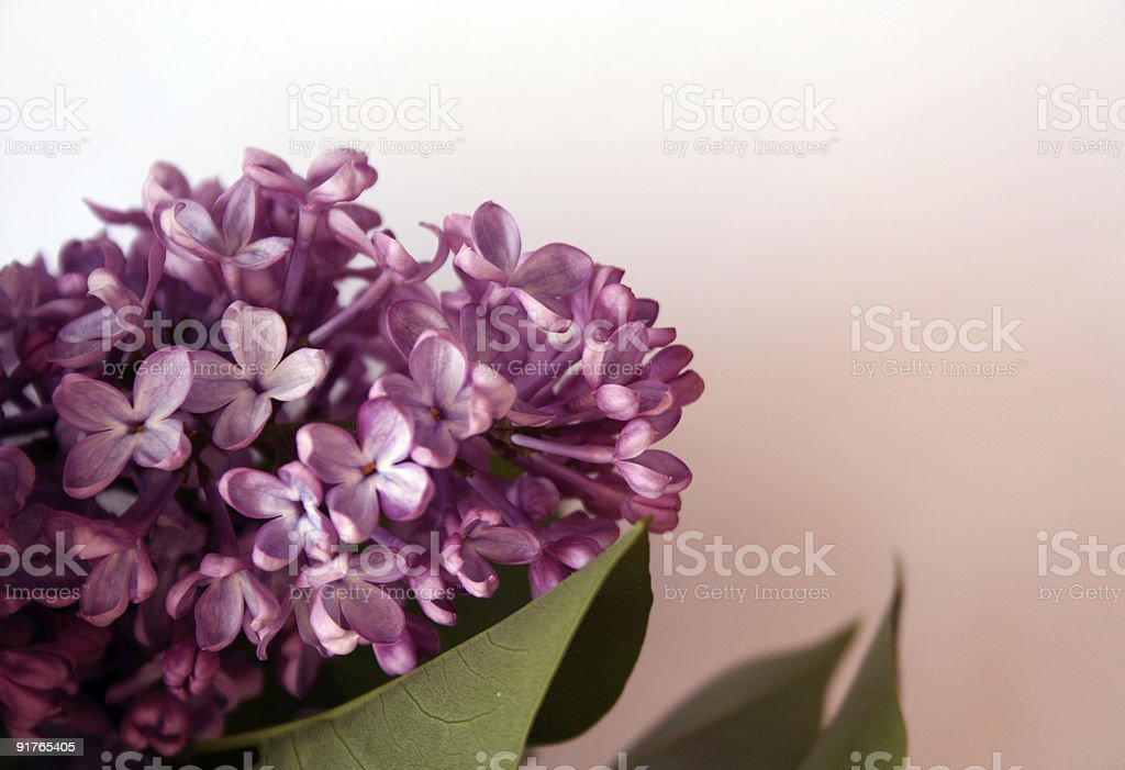 Lilac on pink background royalty-free stock photo