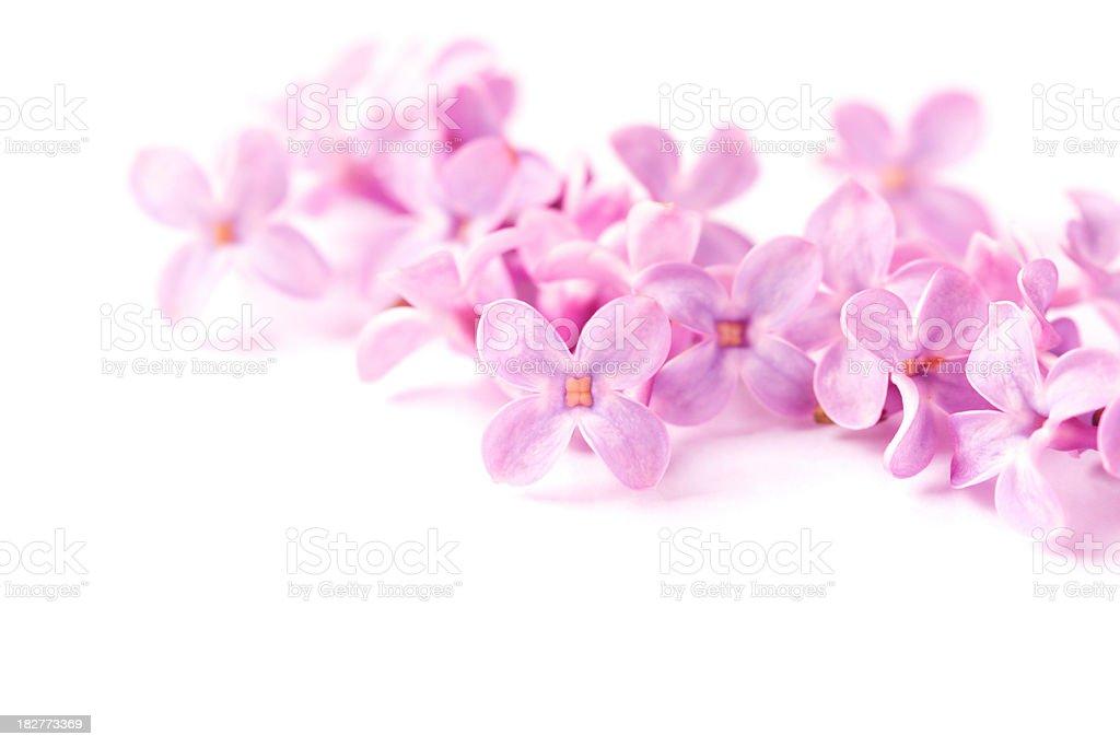 lilac on white royalty-free stock photo