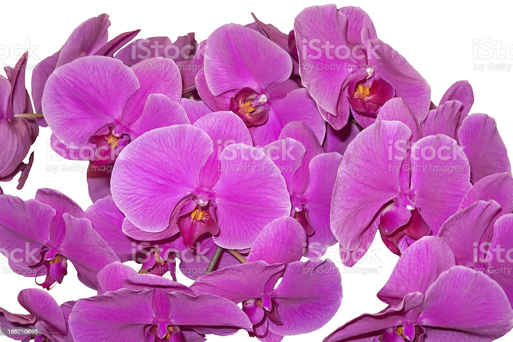 Lilac orchids on white royalty-free stock photo