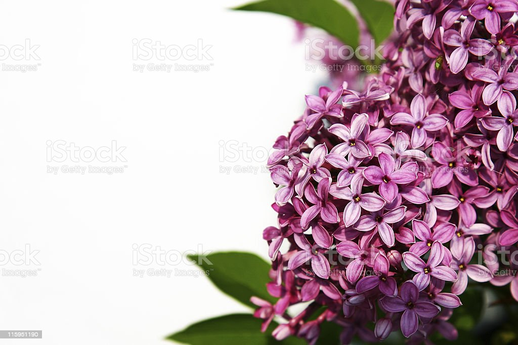 Lilac royalty-free stock photo