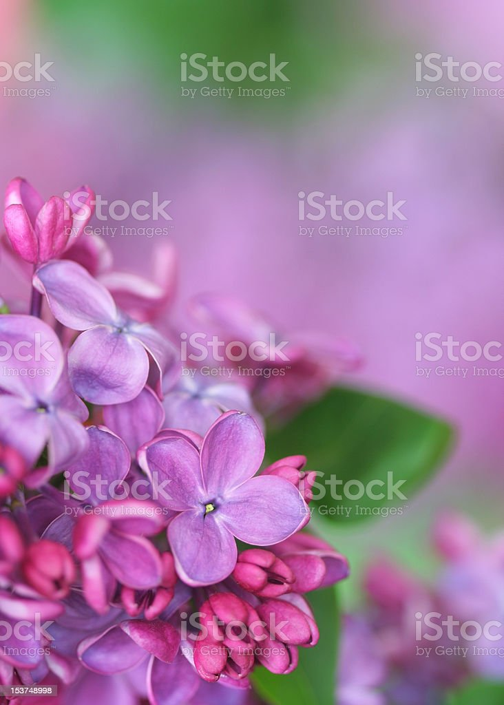 lilac. royalty-free stock photo