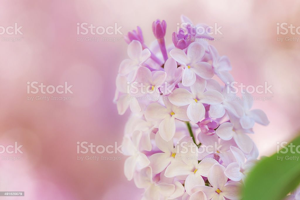 Lilac (Syringa vulgaris) royalty-free stock photo