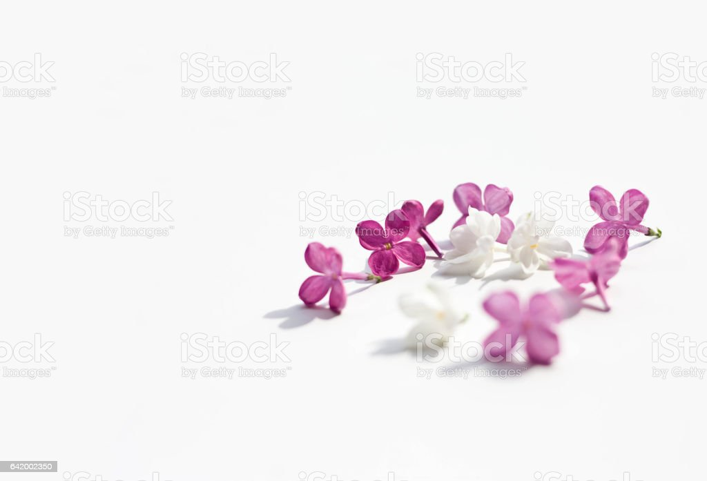 lilac purple flowers itenderness solated white background stock photo