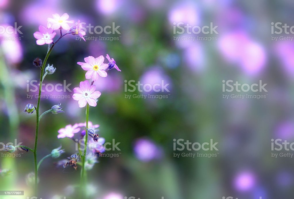 lilac purple wild flowers stock photo