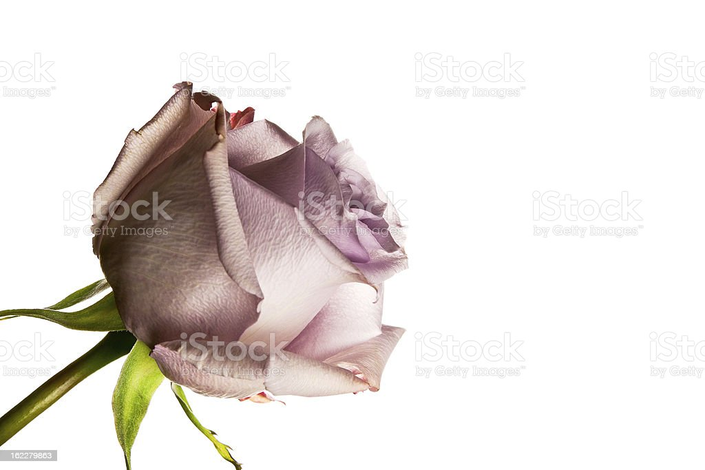 Lilac Rose royalty-free stock photo