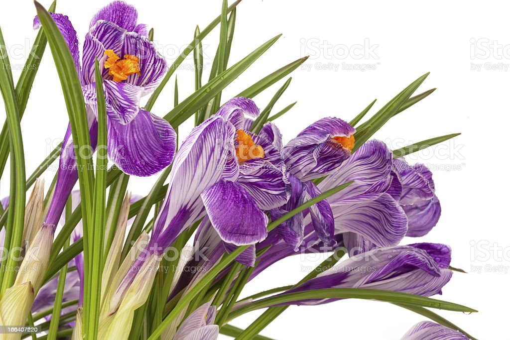 Lilac spring crocus royalty-free stock photo