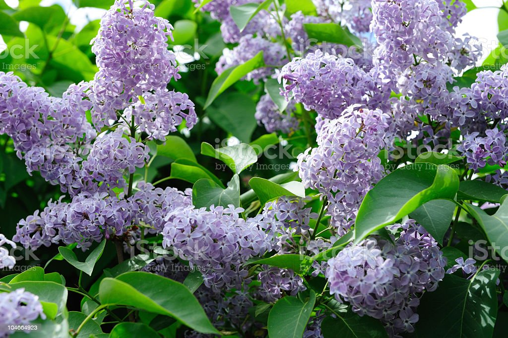 Lilac syringa royalty-free stock photo