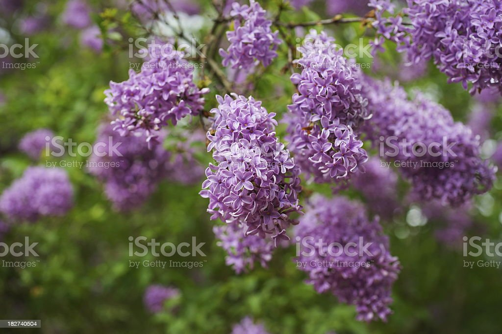 Lilac With Bokeh Background stock photo