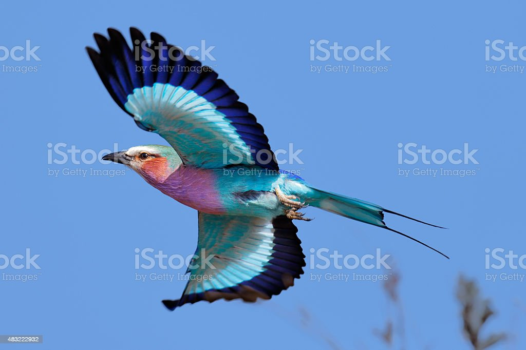 Lilac-breasted Roller in flight stock photo