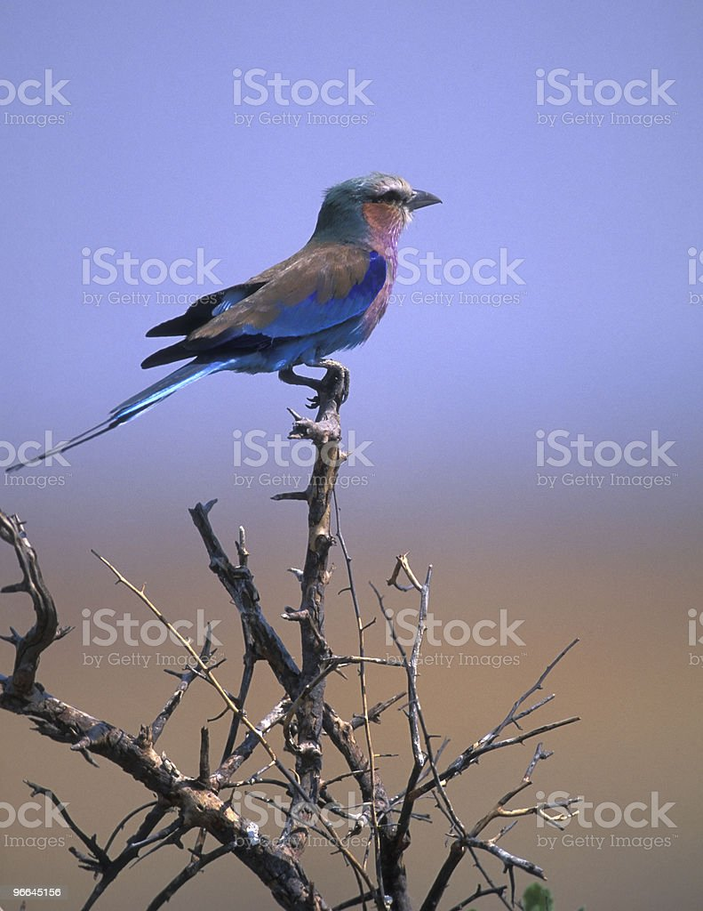 Lilac-breasted Roller royalty-free stock photo