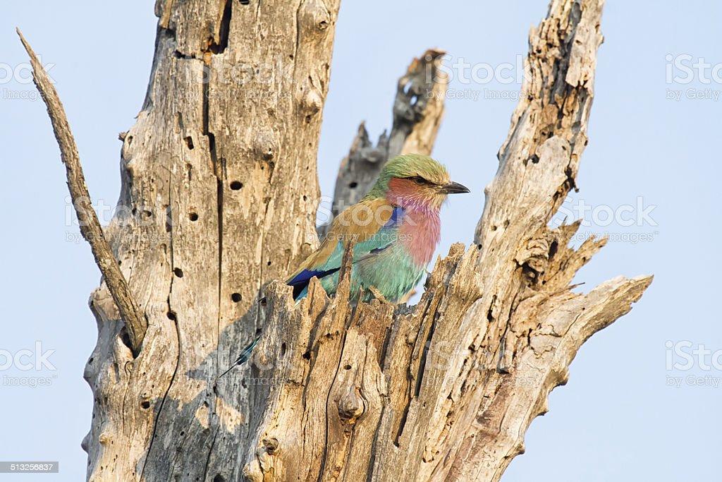 Lilac-breated Roller, Savuti National Park, Botswana stock photo
