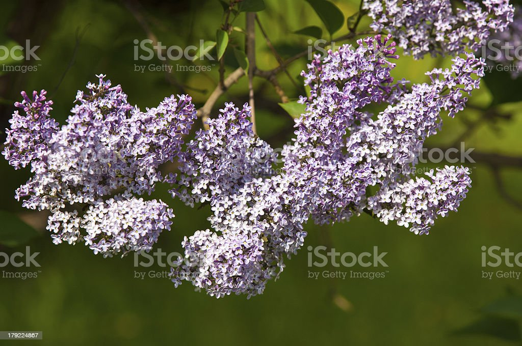 Lilacs grow in spring royalty-free stock photo