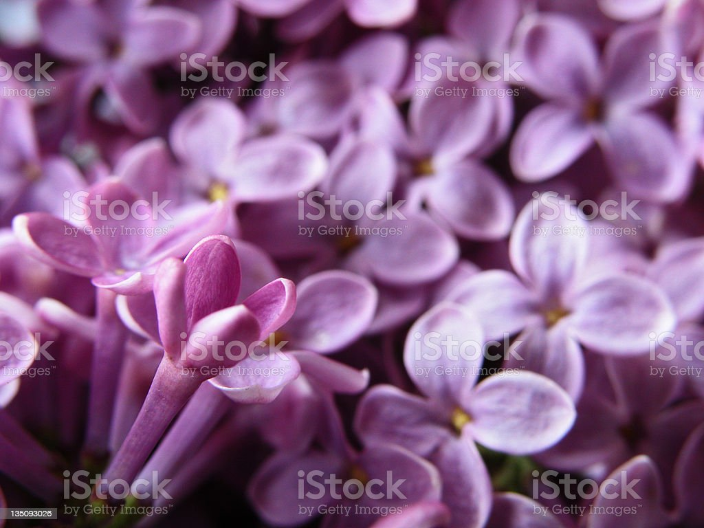 Lilacs royalty-free stock photo