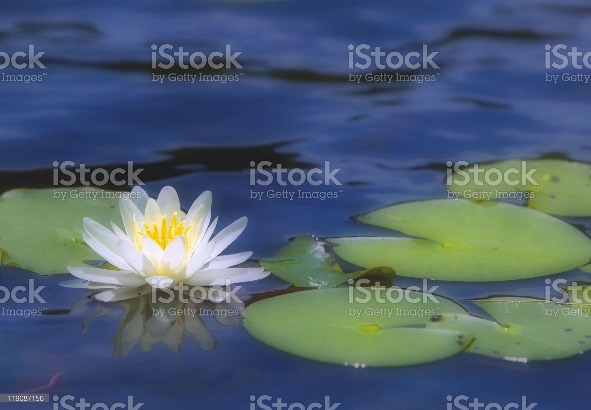 lili pad royalty-free stock photo