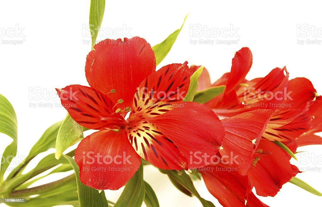 Lilies and cornflowers on a white background royalty-free stock photo
