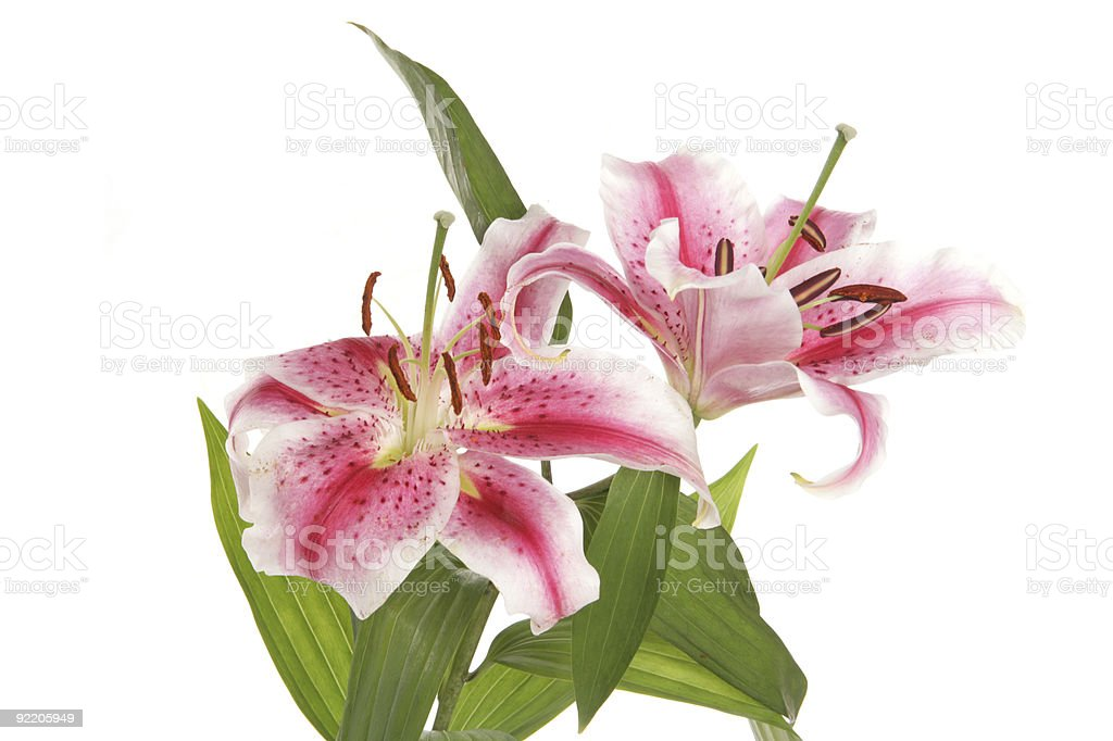 Lilies in a studio stock photo