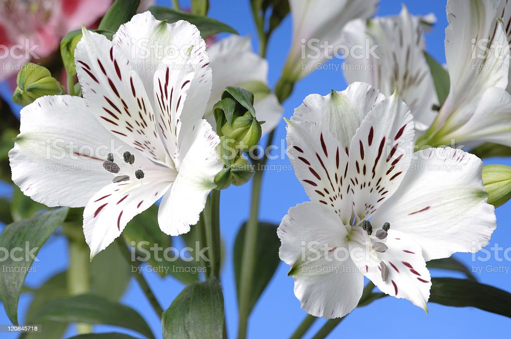 Lilies of the Incas stock photo