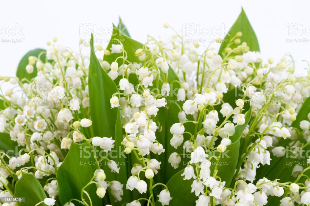 lilies of the valley isolated on white background. stock photo
