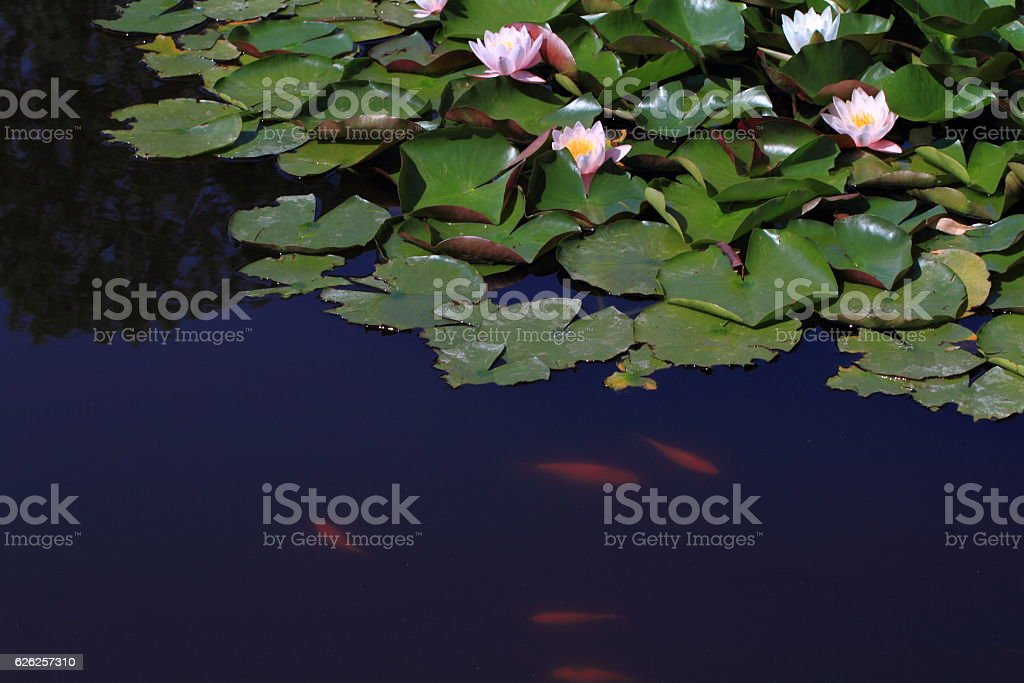 lilies on the water royalty-free stock photo