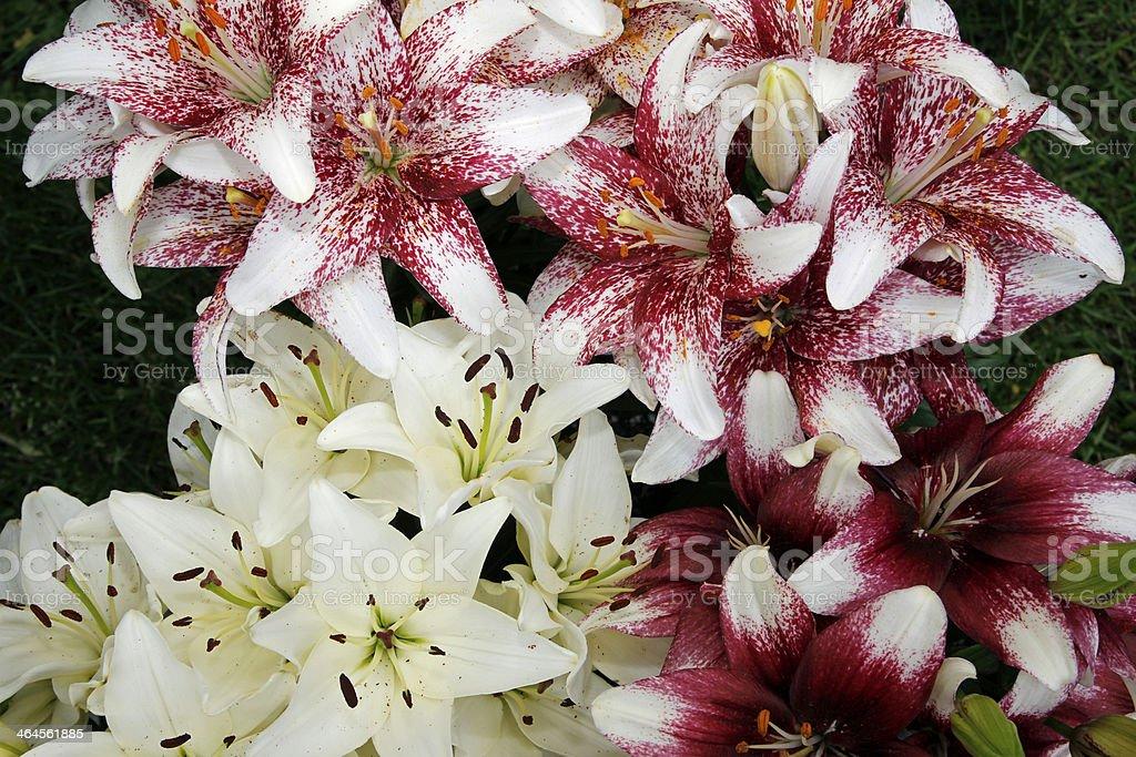 Lilies stock photo