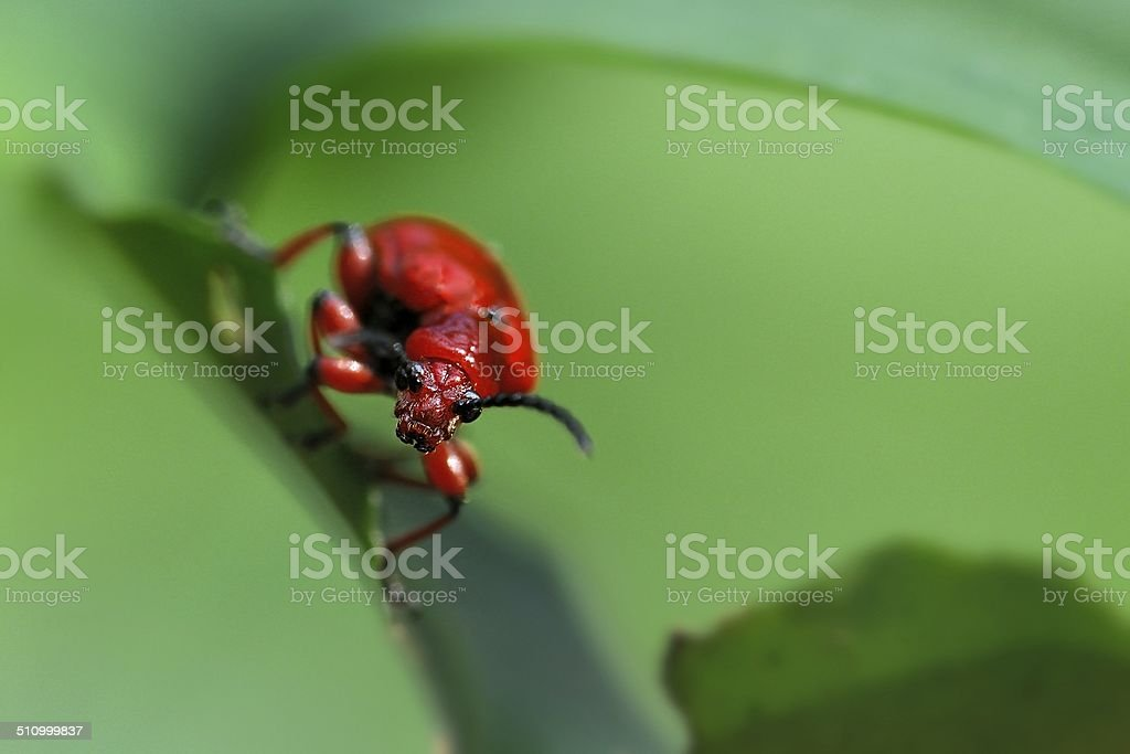 Lilioceris merdigera, Chrysomelidae. stock photo