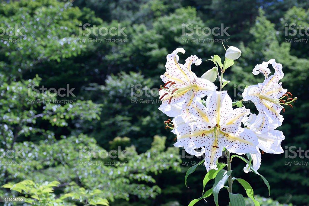Lilium auratum – Yamayuri stock photo