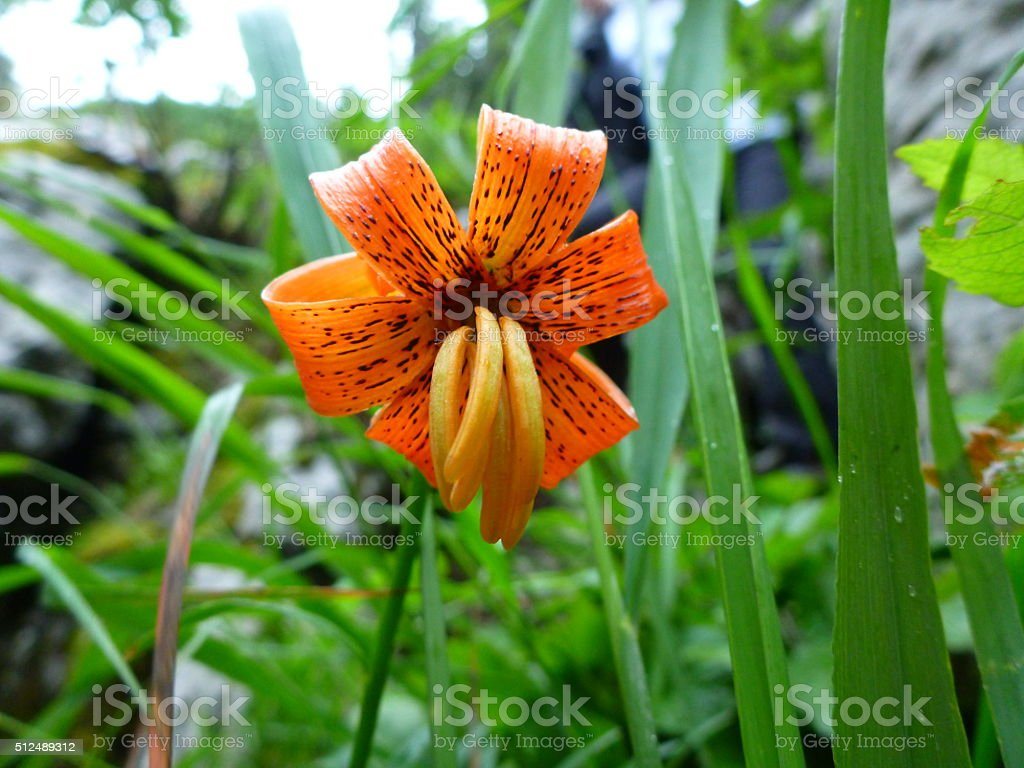 Lilium carniolicum - rare and protected flower stock photo