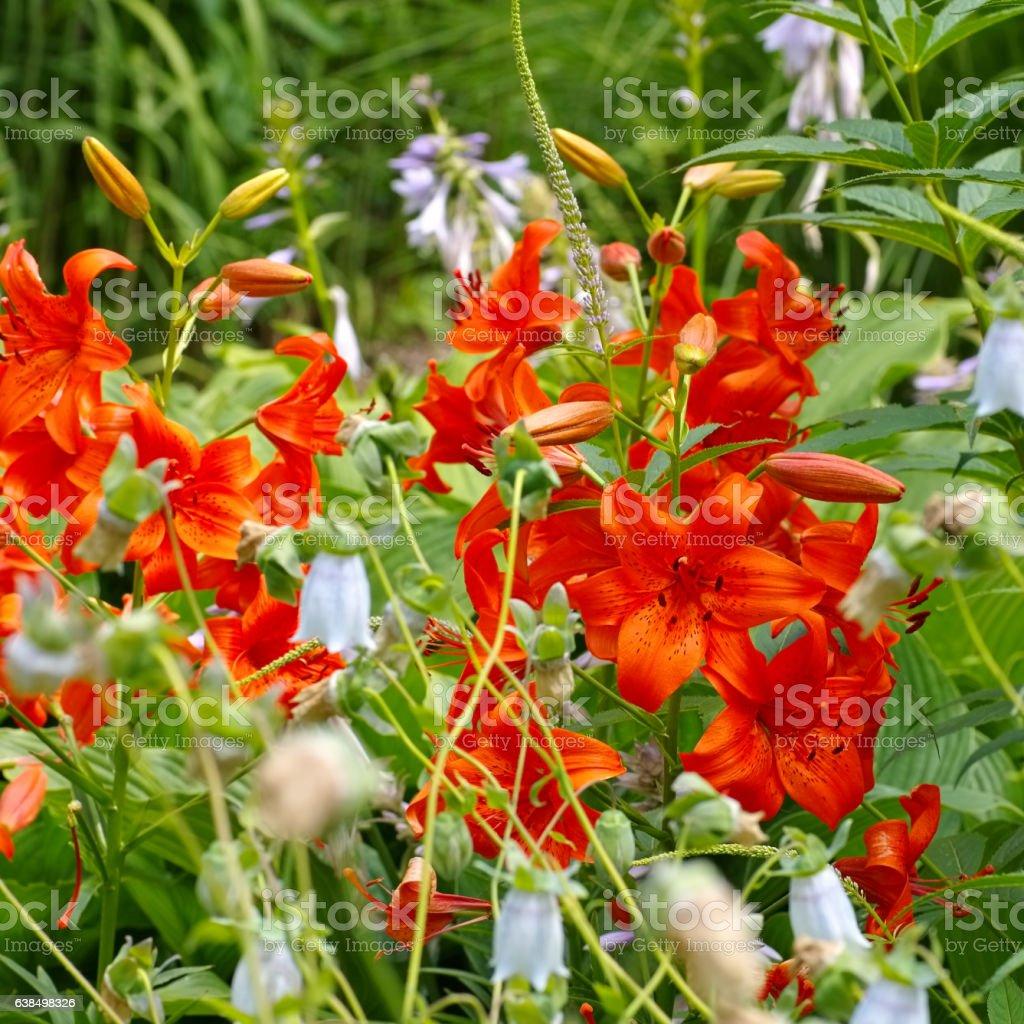 Lilium davidii Elwes stock photo