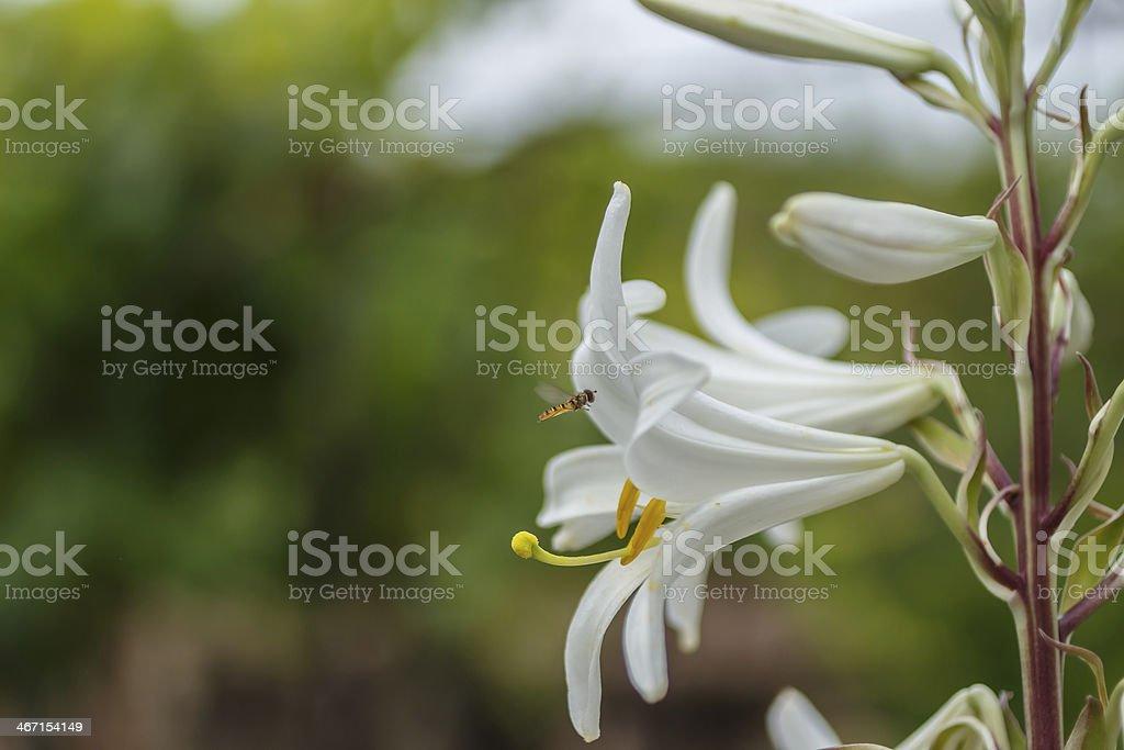 Lilium flower and fly royalty-free stock photo