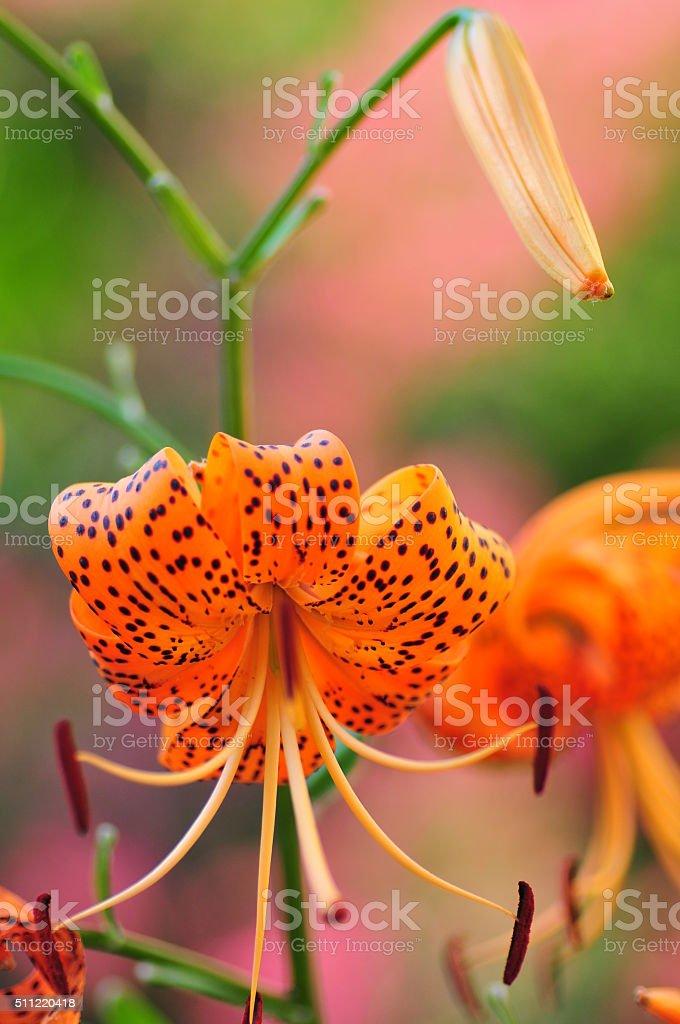 Lilium lancifolium / Tiger lily stock photo