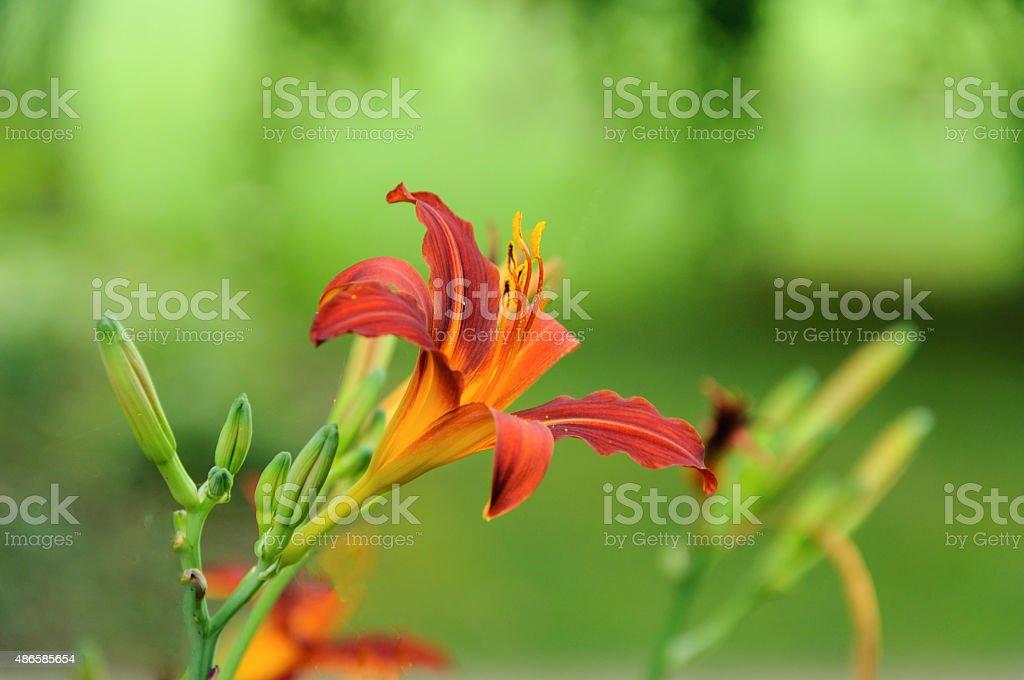 lilium, lily stock photo
