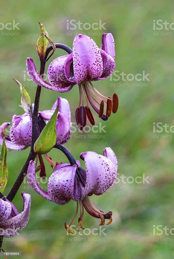 Lilium martagon on natural background royalty-free stock photo