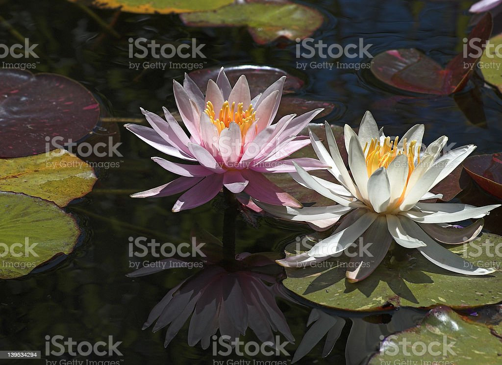 Lillies in a pond stock photo