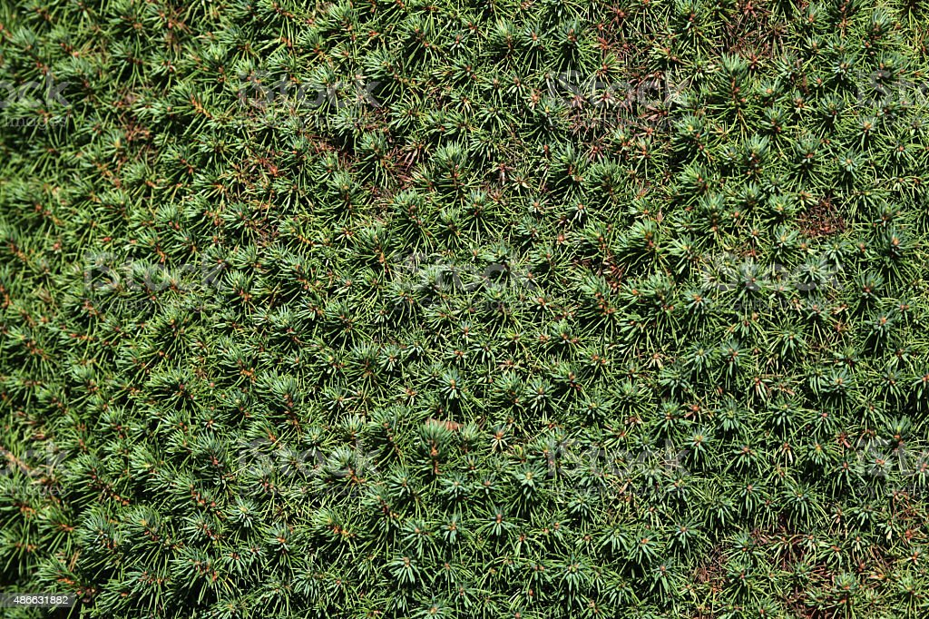 Lilliput white spruce (Picea glauca) texture. stock photo