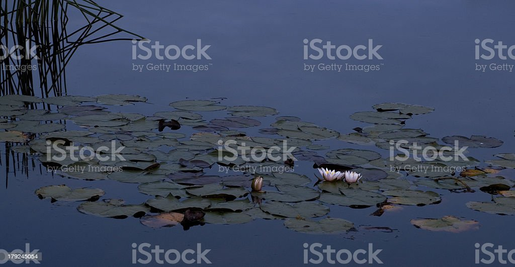 Lilly and reeds at night royalty-free stock photo