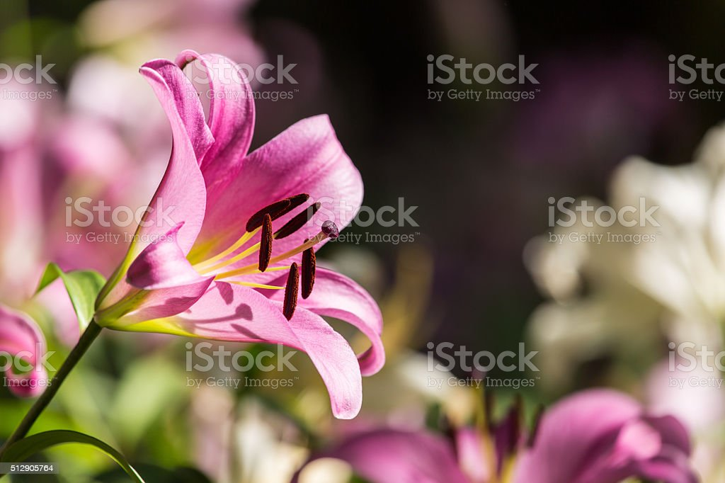 Lilly flower. stock photo