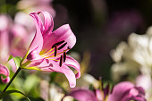 Lilly flower.