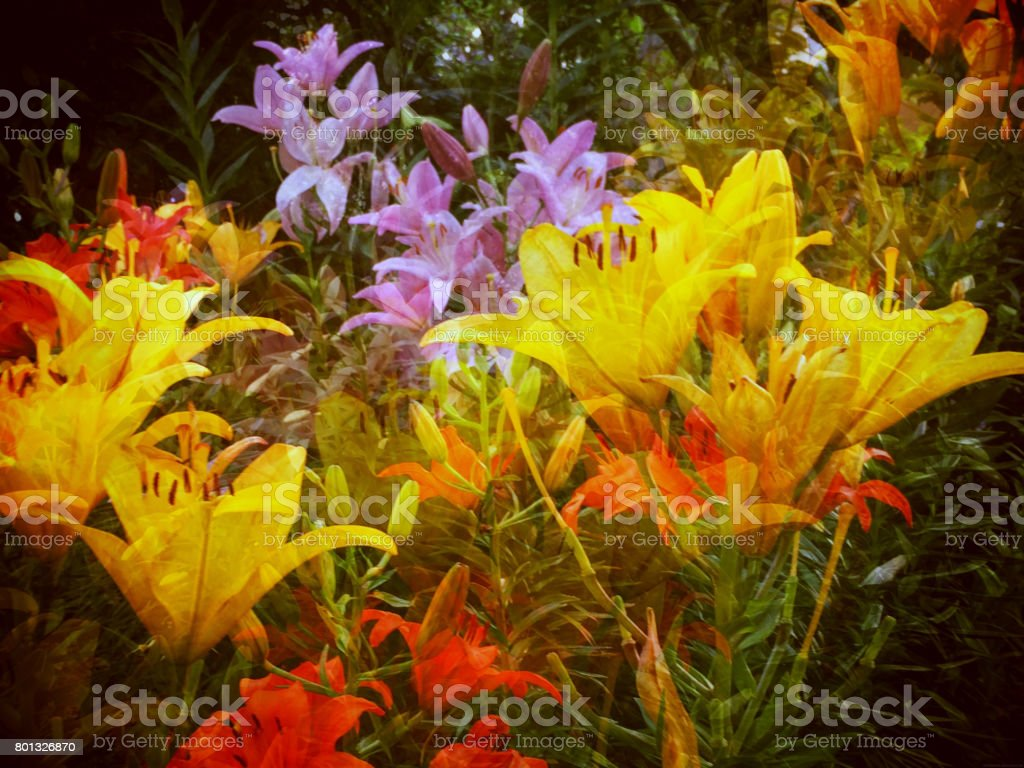Lilly Garden stock photo