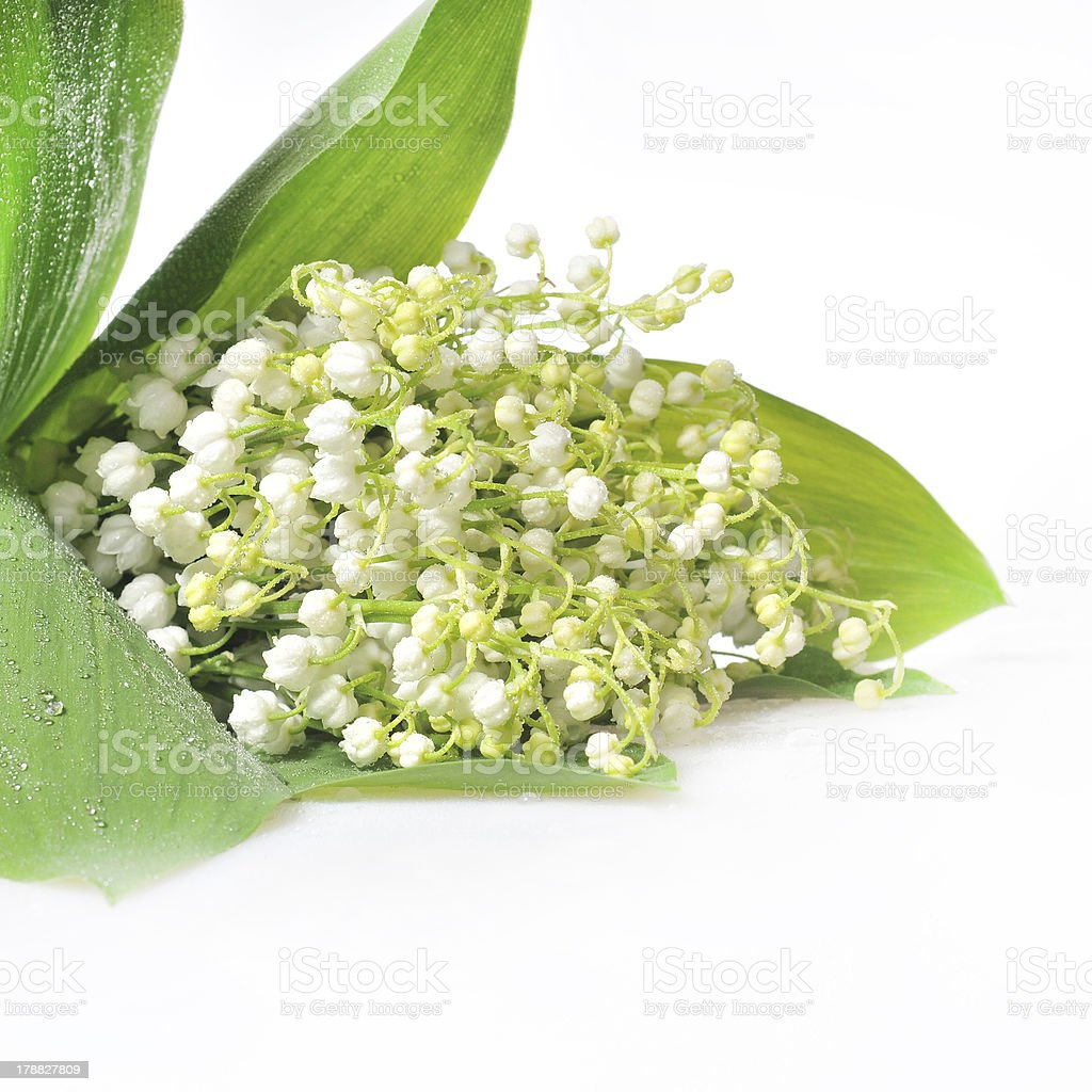 Lilly of the Valley royalty-free stock photo