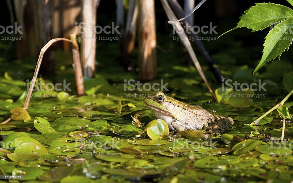 Lilly Pad Frog stock photo