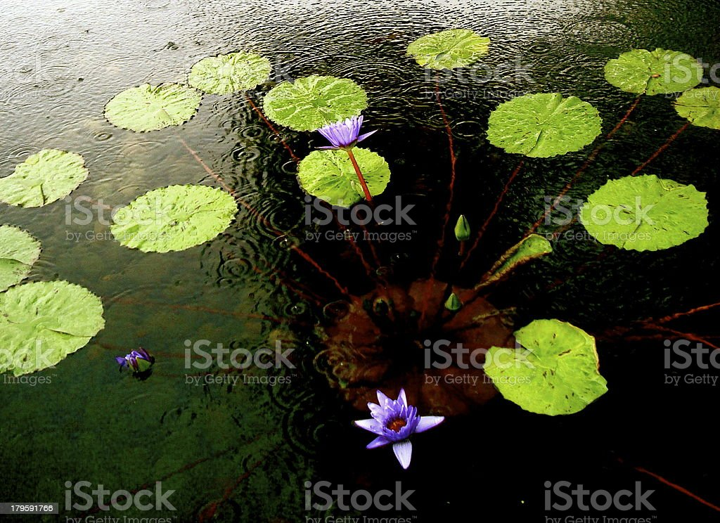 Lilly Pad royalty-free stock photo