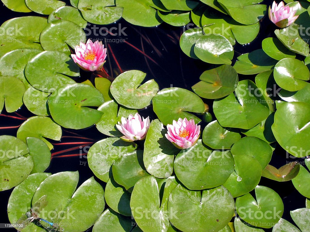Lilly pad pond royalty-free stock photo