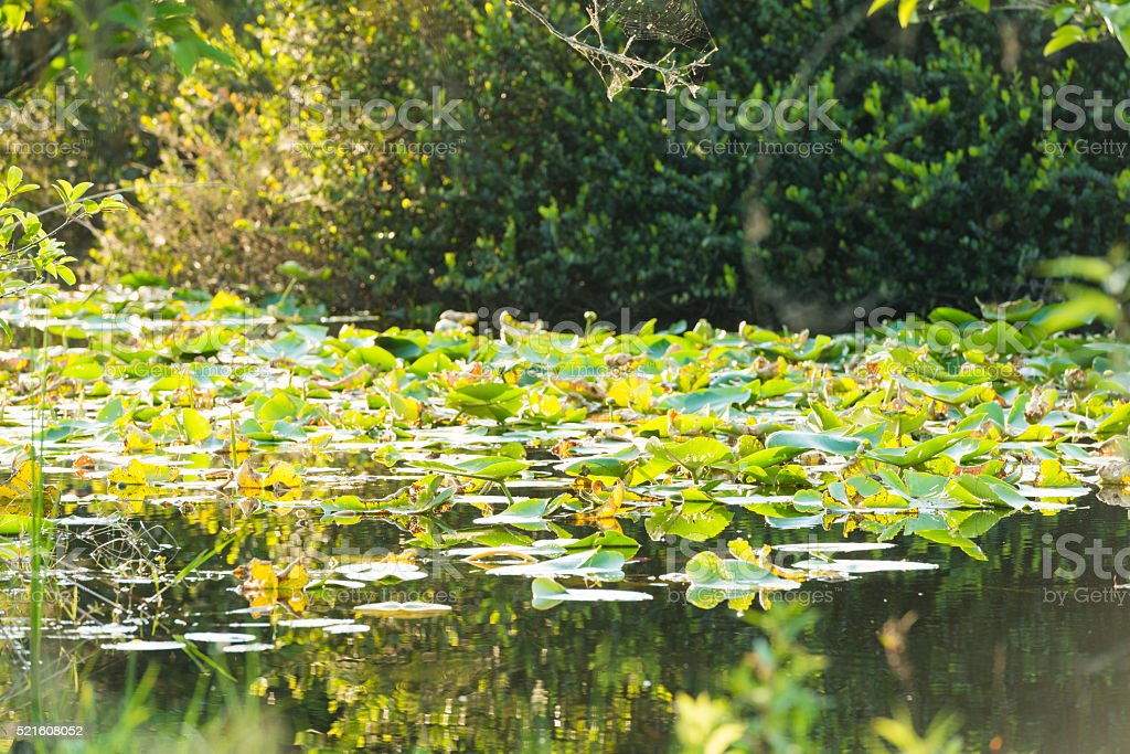 Lilly Pads Growing on Water Canal in Everglades Environment stock photo