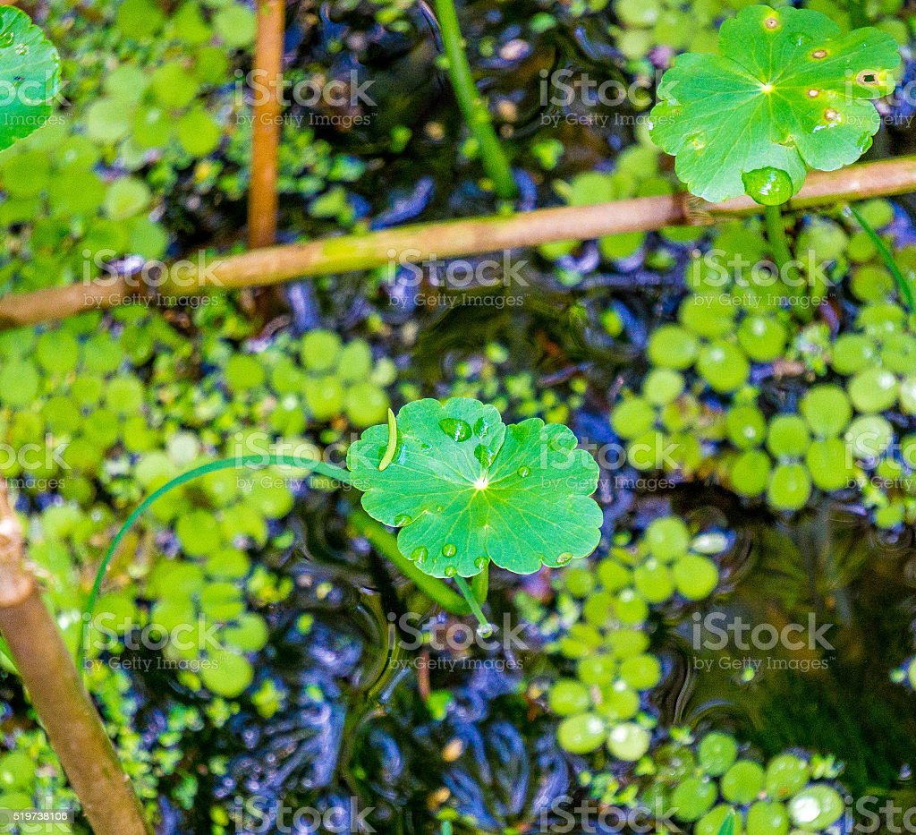 Lilly pads in the swamp stock photo