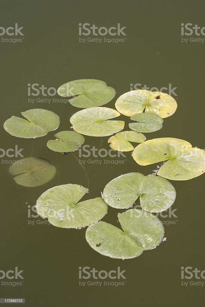 Lilly pads royalty-free stock photo