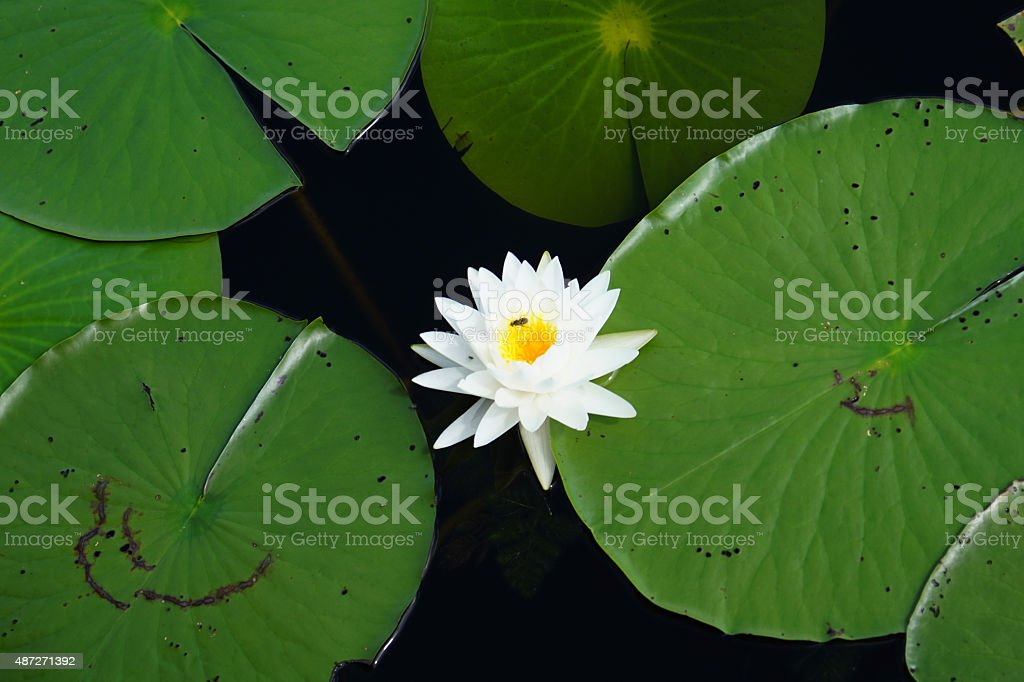Lilly pads with bug stock photo
