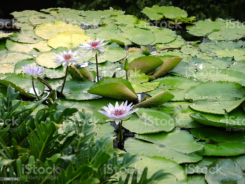 Lilly pads with flowers royalty-free stock photo